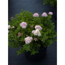 Spiraea japonica 'Little Princess' 20/30 спирея