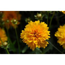 КАТ.№ 101304 Coreopsis grandiflora Sunray