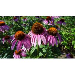 КАТ.№ 101309 Ehinacea purpurea ЕХИНАЦЕЯ